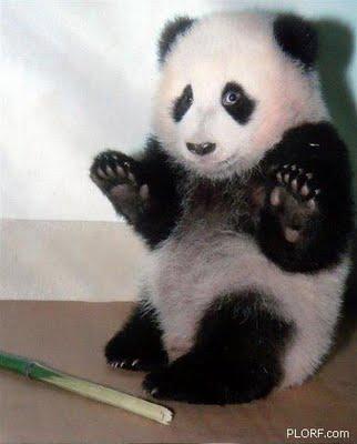 81 Panda Chris Packham